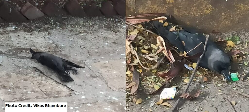 crow dead in Pune Camp